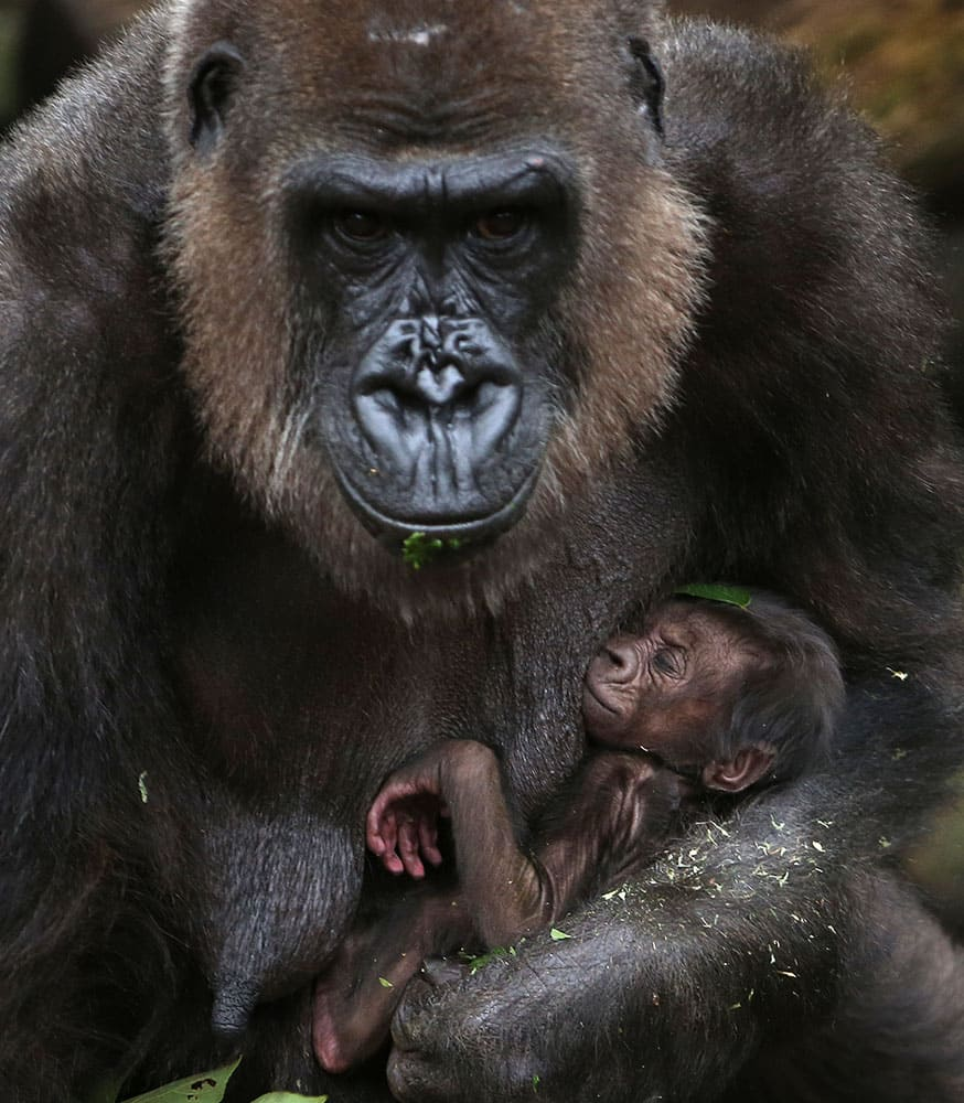A baby Western lowland gorilla clings to its mother, Frala, at Taronga Zoo in Sydney.