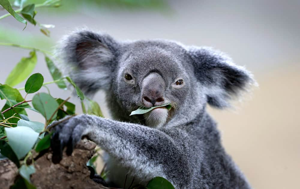 A koala feeds on eucalyptus leaves in its new enclosure at the Singapore Zoo.