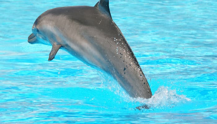 BP oil spill caused dolphins` lung disease, deaths: Study