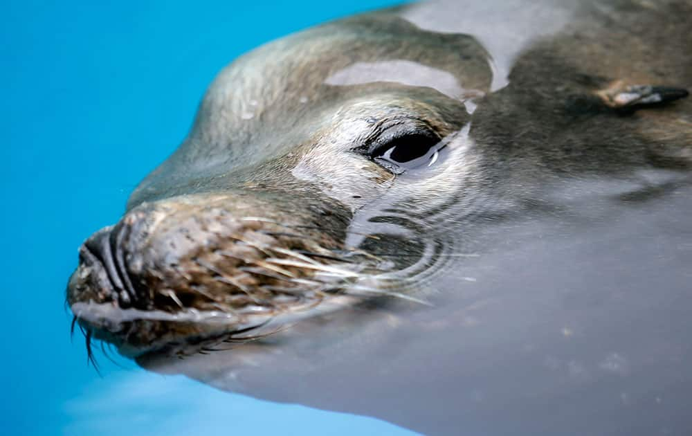 A giant sea lion, nicknamed Bubba, swims in a recovery pool at SeaWorld San Diego's animal rescue center, in San Diego.