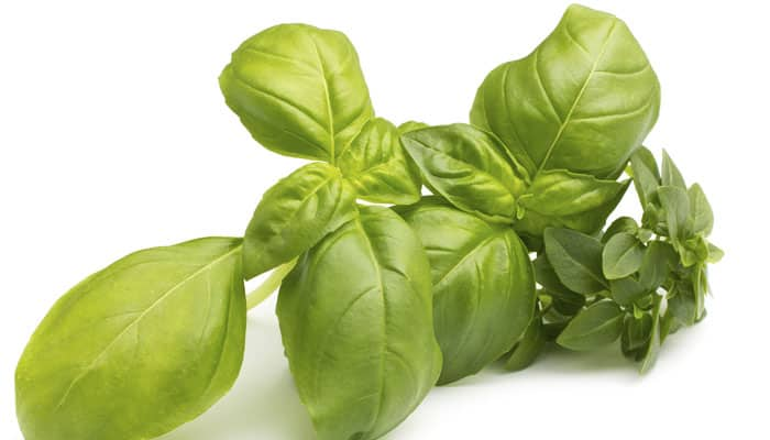 CSIR succeeds in whole genome sequencing of basil