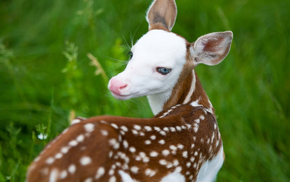 Born recently at Deer Tracks Junction farm, the fawn, named Dragon by Powell's 19-year-old son, was unique from the start. His birth mother,