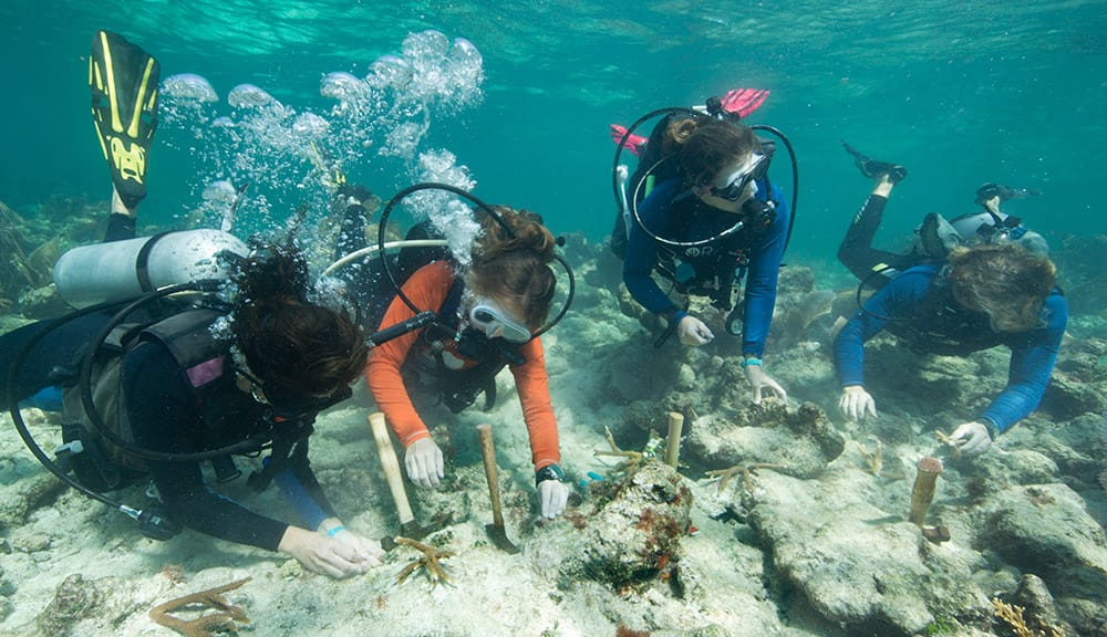 Volunteers with the Coral Restoration Foundation plant staghorn coral clippings on a reef in the Florida Keys National Marine Sanctuary.
