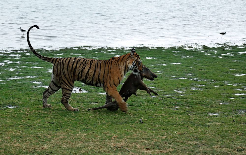A Royal Bengal tiger drags a wild boar after killing it at the Ranthambhore national park in Sawai Madhopur, Rajasthan, India.