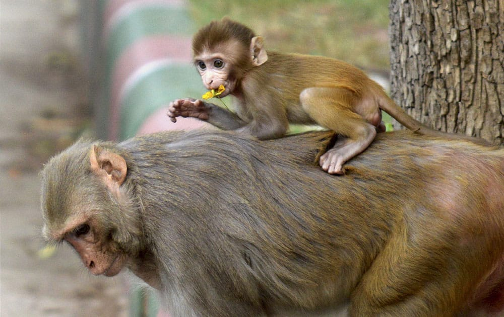 A baby monkey playing on its mothers back in New Delhi.