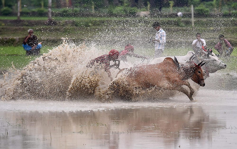 Farmers participate in a bull race at a paddy field in Canning village in South 24 Pargana district. Farmers participate in the race with a belief that participation before ploughing their fields will bring rain and a better harvest.