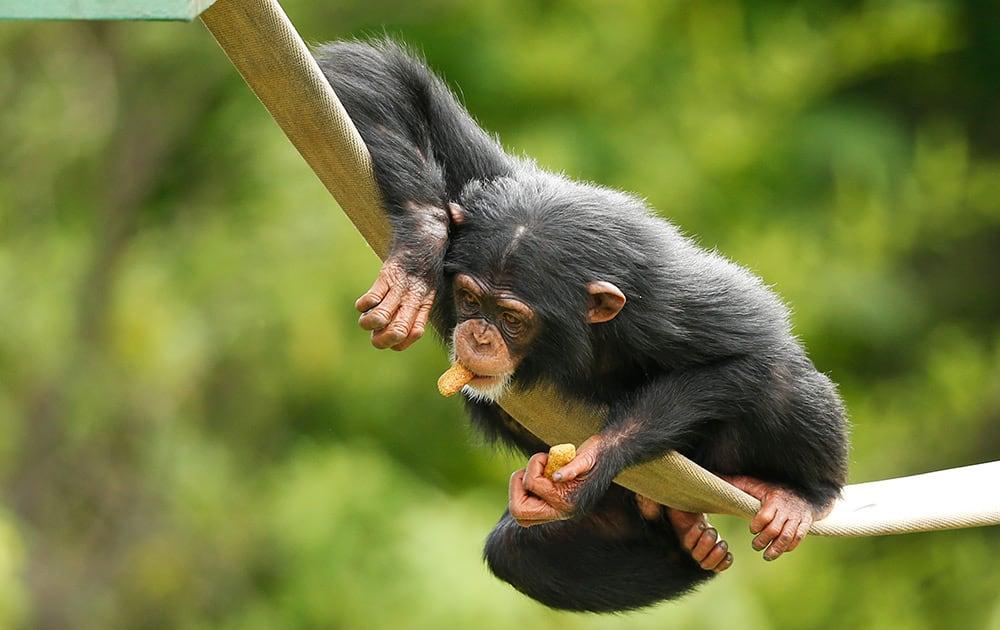 Ruben, a 3-year-old chimpanzee, plays at the Oklahoma City Zoo in Oklahoma City.