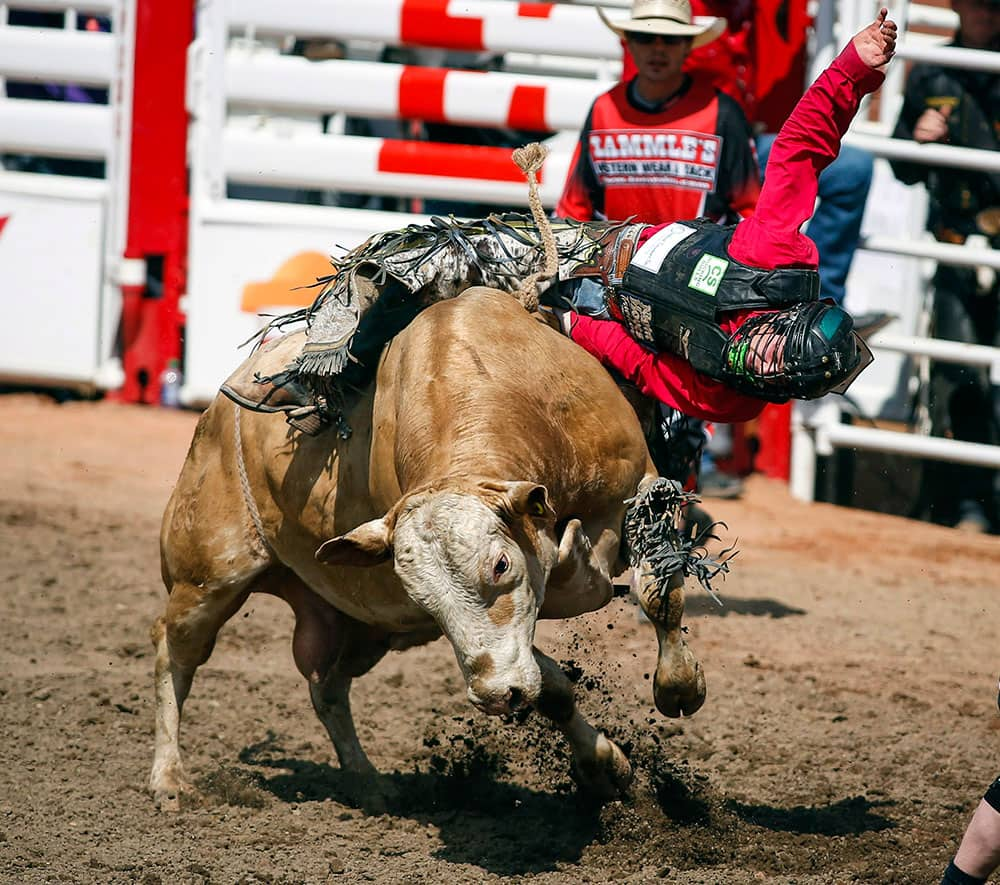 Dakota Buttar, from Kindersley, Saskatchewan, comes off Moe during Calgary Stampede bull riding rodeo action in Calgary.