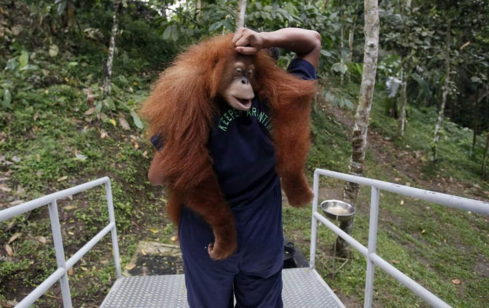 A worker of Sumatran Orangutan Conservation Programme carries a tranquilized Sumatran orangutan as it's being prepared to be released into the wild at a rehabilitation center in Kuta Mbelin, North Sumatra, Indonesia.