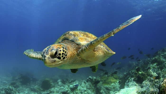 97,000 Kemp's ridley sea turtles born on Mexican beaches
