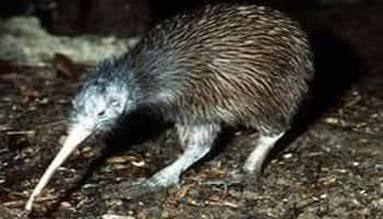 Kiwi bird genome decodes growth of nocturnal animals