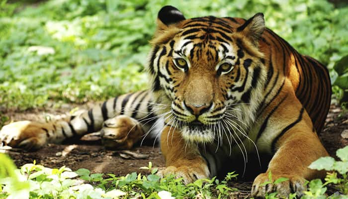 Rising sea level poses threat to Bengal tigers: IUCN