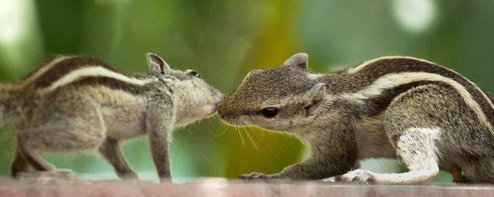 A pair of squirrel in New Delhi.
