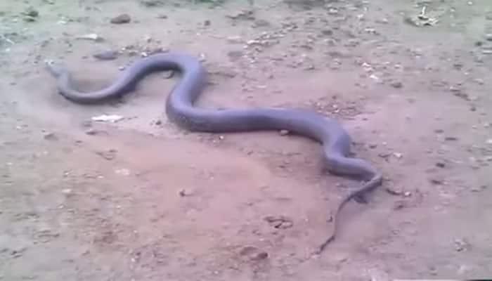 Caught on camera: Anaconda gives birth to live snakes!