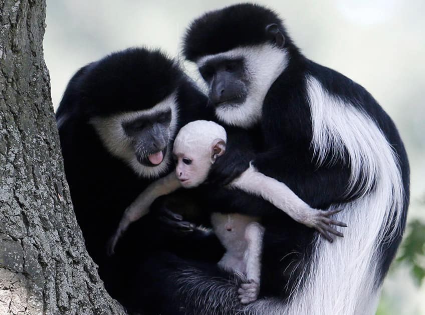 Grown mantled guerezas, that are native to much of west central and east Africa, hold a new born baby at the zoo in Prague, Czech Republic. The baby guareza was born on Friday July, 31 and its sex is still unknown.