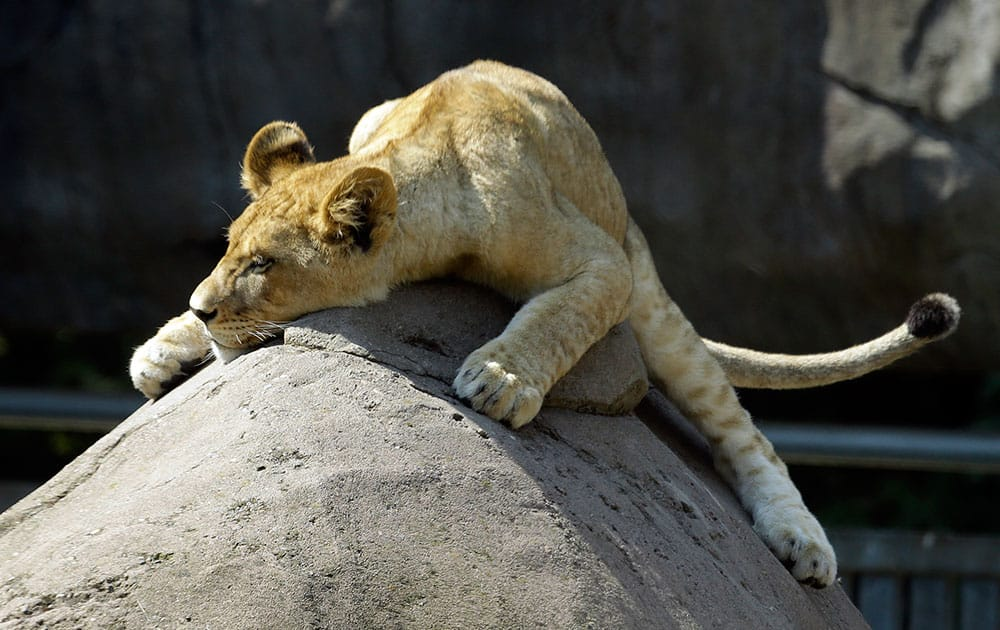 A lion cub suns itself on the peak of a large rock at the Oregon Zoo in Portland, Ore.