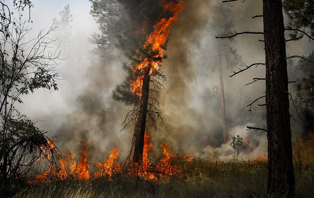 A tree is engulfed in flames during a controlled burn near a fire line outside of Okanogan, Wash.