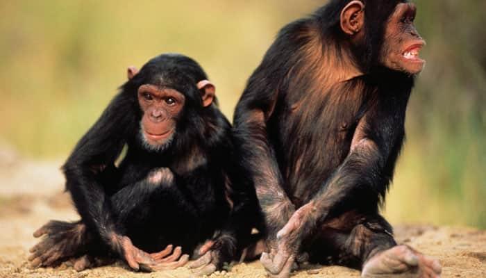 Chimps adapt to human-dominated habitats faster