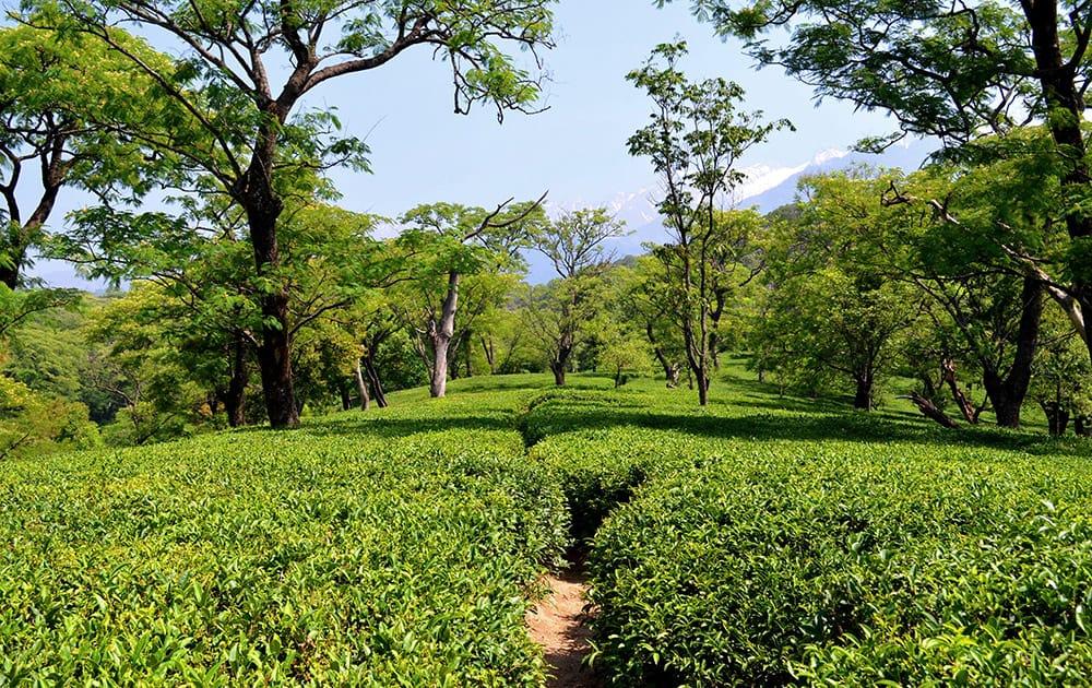 Verdant tea gardens of Dharamshala.