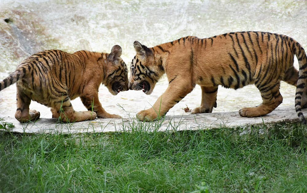 Tiger cubs playing in their cage at Sarthana Zoo in Surat.