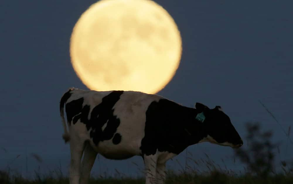 A super moon rises behind a grazing cow in a pasture near Lecompton, Kan.