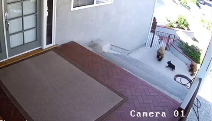 That's guts! Watch how a small dog scares off bears