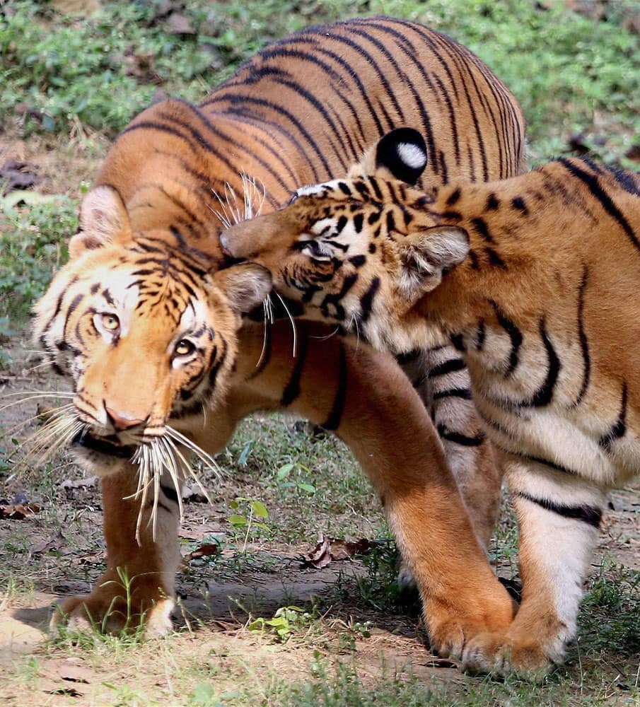 A pair of Royal Bengal tigers at Tata Steel Zoological Park in Jamshedpur.