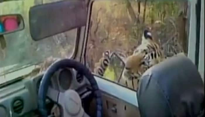 WATCH: Tourist captures video as tiger comes close to his car, bites side mirror