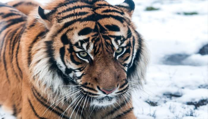 New evidence of wild Siberian tigers found in China