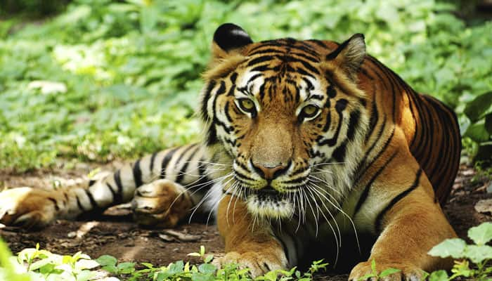 'Tiger corridor' only after report on feline presence: Minister