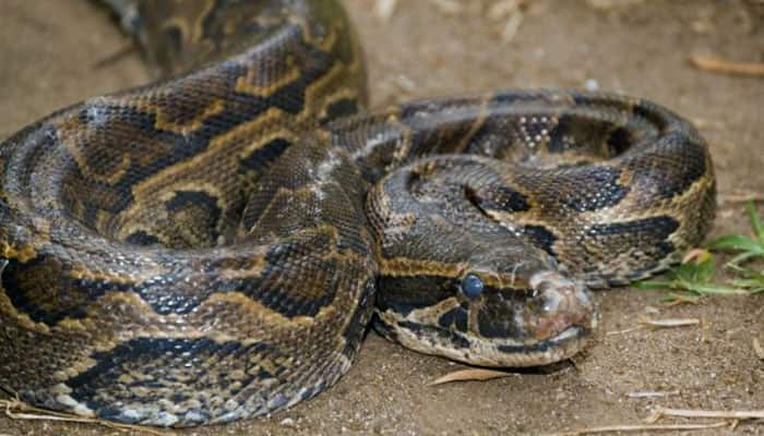 Watch video: What happens when a 10-foot-long Python swallows two goats