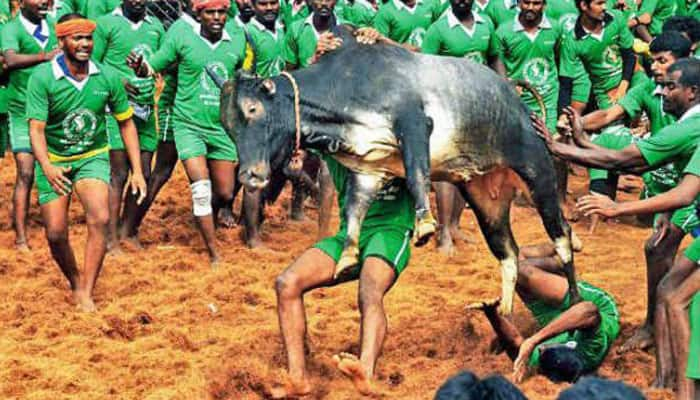 SC stays govt notification allowing Jallikattu, protests erupt in Tamil Nadu; Jayalalithaa demands Ordinance to hold event