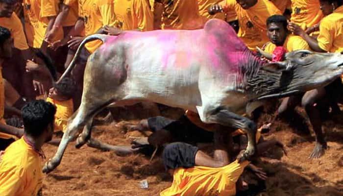 Tamil Nadu celebrates Pongal amid Jallikattu dampener
