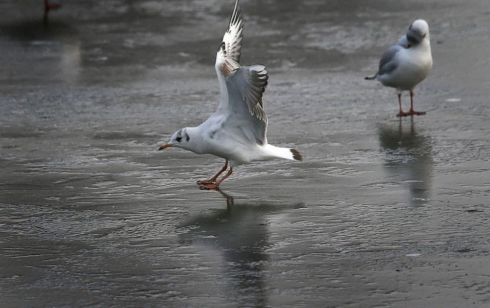 A gull slides as it approaches landing on the frozen pond of St. James Park in London.