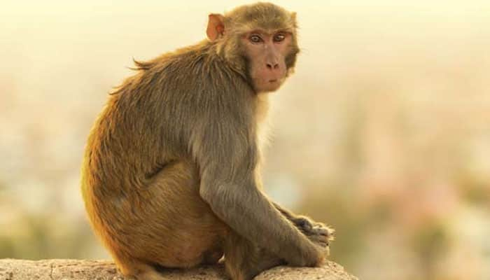 Head transplant successfully carried out on monkey?