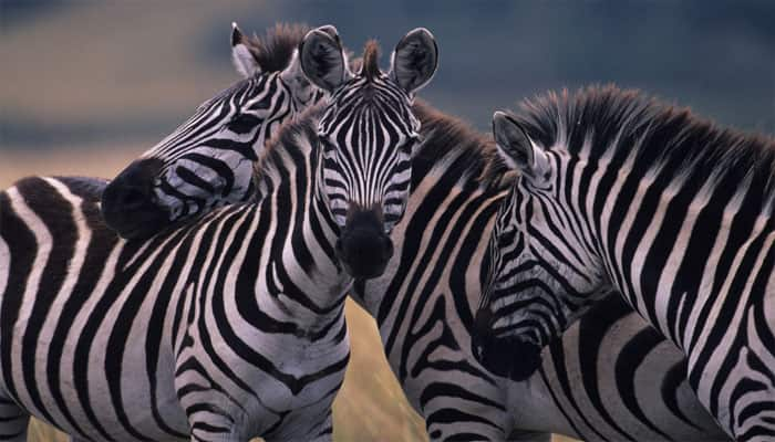 Zebra stripes not for camouflage protection against predators