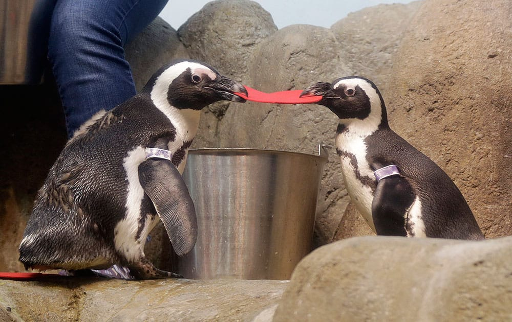 Two African penguins fight over a heart shaped valentine handed out by biologist II Amy Walters at the California Academy of Sciences in San Francisco.
