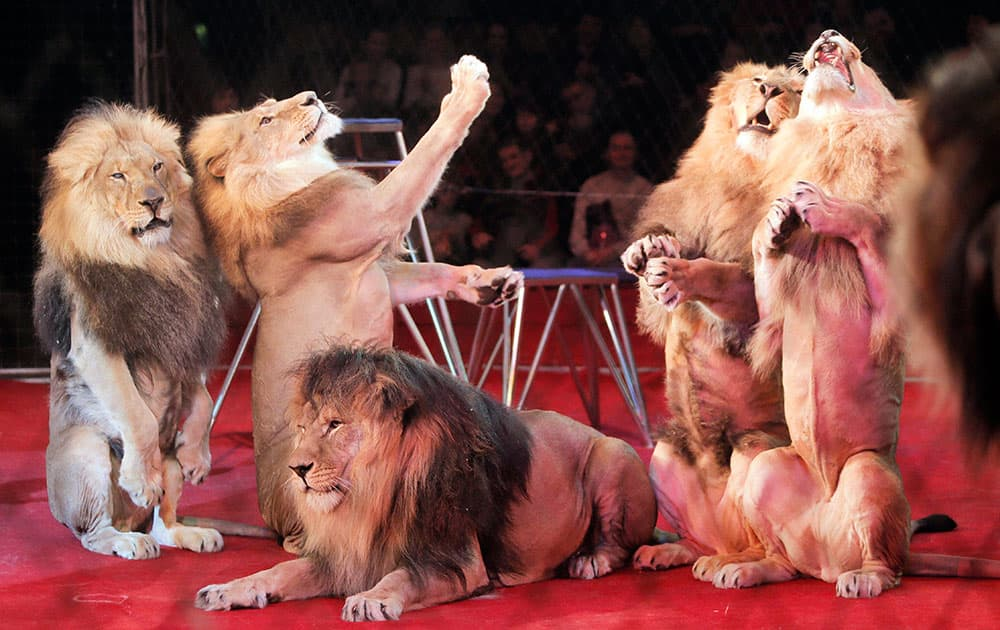 Lions perform during a show in Ukraines National Circus in Kiev, Ukraine.