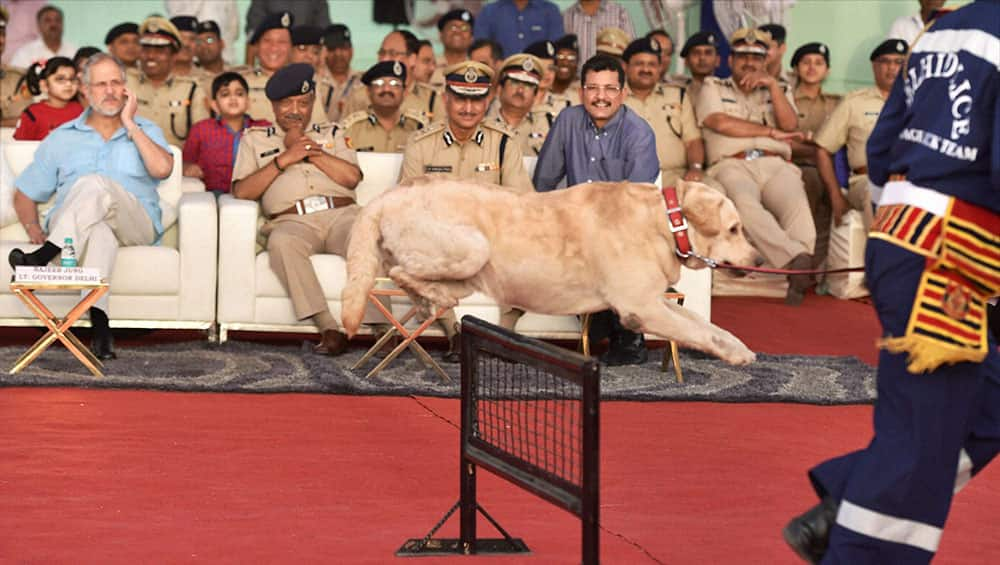A trained labrador dog showing skills during an induction ceremony of a new batch of 30 dogs to Delhi Police at Rajpath in New Delhi.
