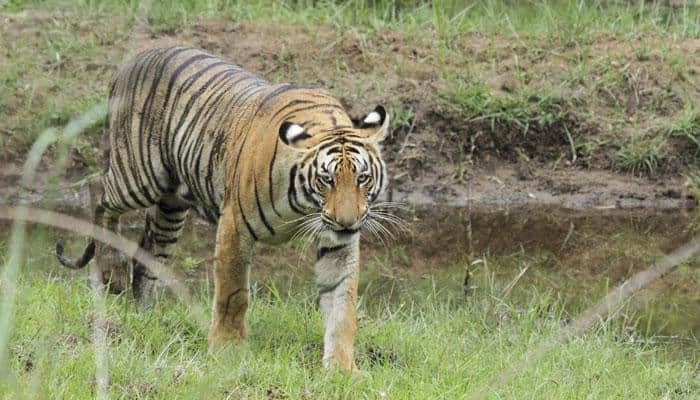 World tiger population spikes for first time in decades; India alone registers 500 plus births