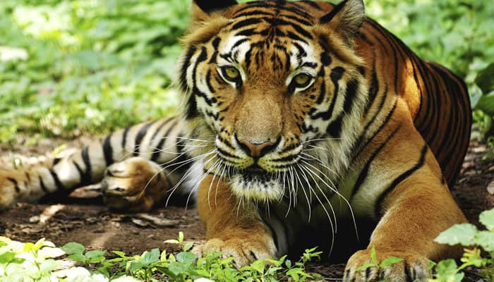 India's tiger count at nearly 2,500: Javadekar