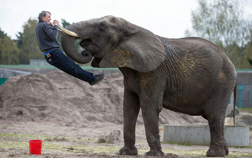 Female elephant Benji uses her tusks to lift zookeeper Stefan Frank prior to a foot care at the Stukenbrock zoo in Schloss Holte-Stukenbrock, Germany.