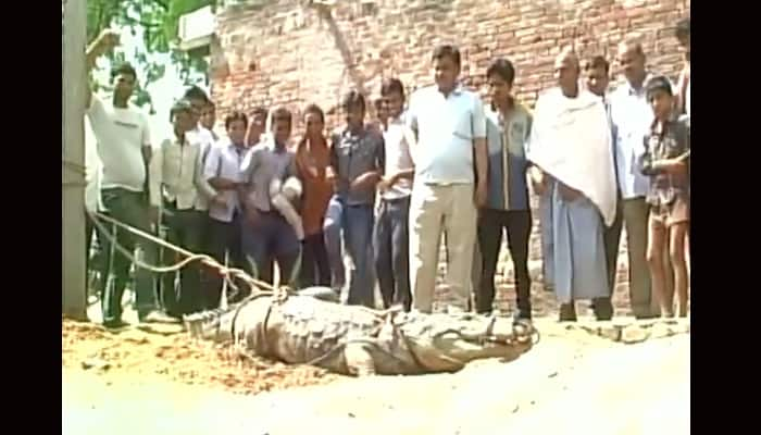 Crocodile enters residential locality in Uttar Pradesh, causes panic - Watch