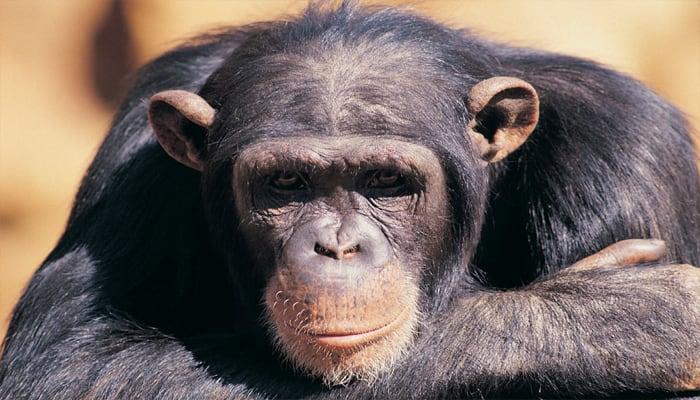 Unbelievable: Chimps shop like we do!