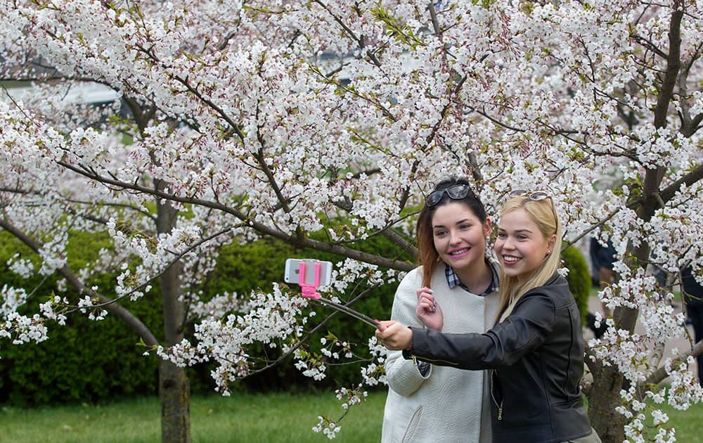 Two women takes a selfie against the cherry blossoms in Sakura park in Vilnius, Lithuania.