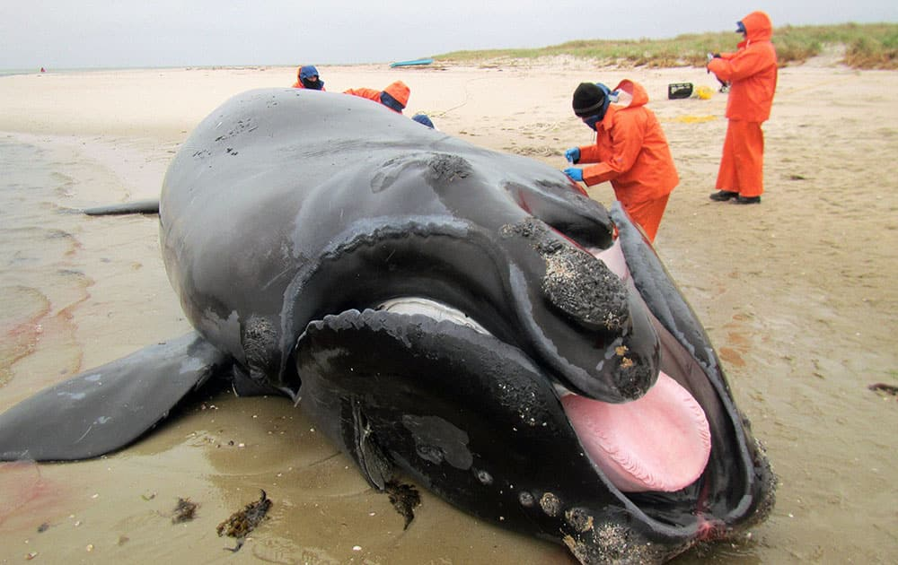 researchers examine a rare North Atlantic right whale calf on the beach in Chatham, Mass. The calf which was found dead off Cape Cod on Thursday had injuries consistent with being hit by a boat or ship, but a necropsy is being conducted to pin down the exact cause of death, authorities said Friday.