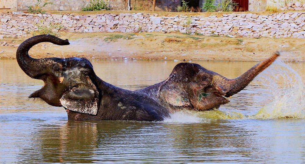 Elephants cool themselves in a pond during a hot summer day at a village in Jaipur.
