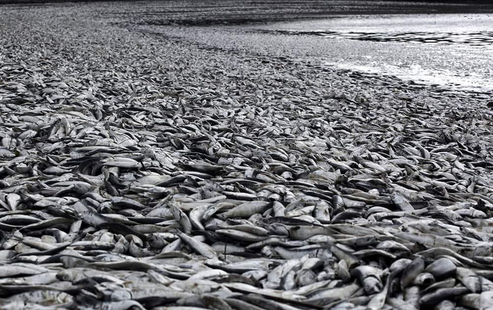 Dead sardines blanket Tolten beach in Temuco, Chile.