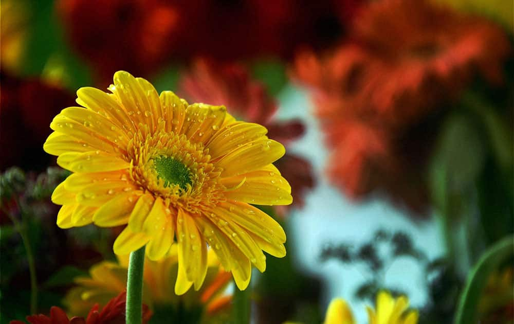 Flowers decorated on stalls at Botanical Garden during Kashmir Flower Show in Srinagar.