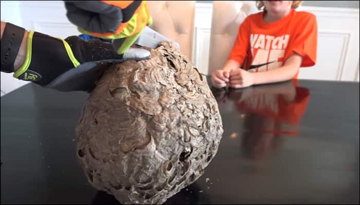 Father and son cut open a wasp's nest – Watch video to find out what's inside!